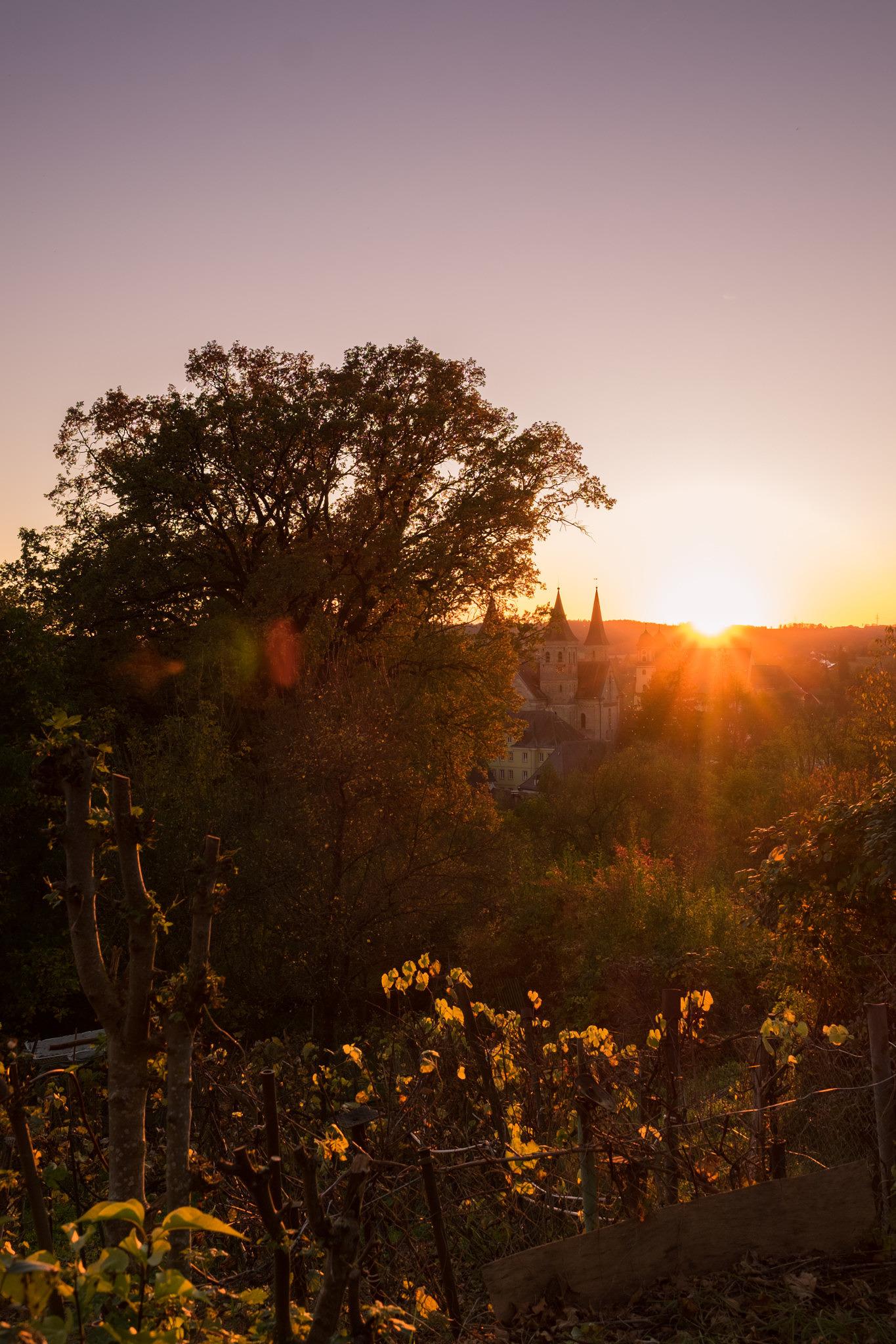Goldener Herbst in Ellwangen - Weinreben im abendlichen Sonnenlicht
